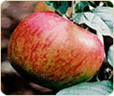 Traditional Apple Varieties: Tullens Fruit Farm in West Sussex, UK